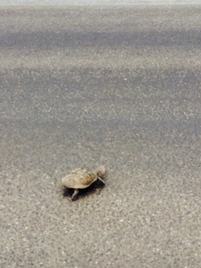 Small turtle crossing
