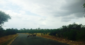 Springbok abound